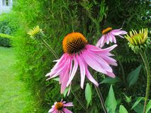Echinacea Purpurea Coneflower Schöne purpurrote Blumen mit einer orange Mitte im Garten stockfotos