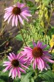 Echinacea (purpurea dell'echinacea) immagine stock