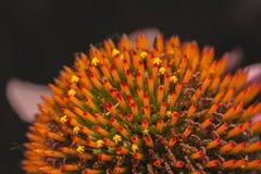 Echinacea purpurea, Details der Blumen lizenzfreies stockfoto