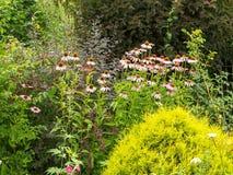 Echinacea purpurea di Bush tra altre piante nel giardino Immagini Stock Libere da Diritti