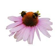 Echinacea Purpurea en el fondo blanco Fotografía de archivo libre de regalías