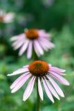 Echinacea purpurea flower Stock Images