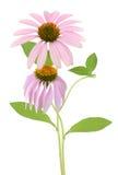 Echinacea purpurea flower Stock Photo