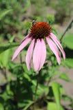 Echinacea purpurea flower eastern purple coneflower with bee Stock Photography