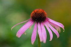 Echinacea purpurea flower Royalty Free Stock Photo