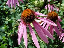 Echinacea purpurea flower Stock Photos