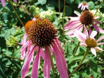 Echinacea purpurea flower. In natural surroundings in the garden close-up Stock Image