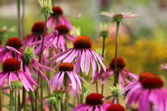 Echinacea purpurea flowers Royalty Free Stock Photography