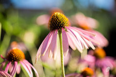 Echinacea purpurea Royalty Free Stock Photography