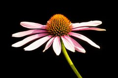 Echinacea purpurea  isolated on black background Royalty Free Stock Image