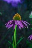 Echinacea purpurea. Just grow medicinal Echinacea.glade of Echinacea.Echinacea at night Royalty Free Stock Images
