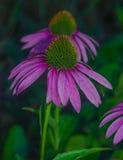 Echinacea purpurea. Just grow medicinal Echinacea.glade of Echinacea.Echinacea at night Stock Photography