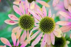 Echinacea purpurea Kegelblumen Stockbilder