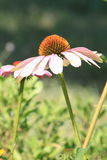 Echinacea purpurea magnus - Flower Stock Photography