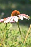 Echinacea purpurea Magnus - Kwiat Fotografia Stock