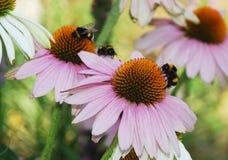Echinacea Purpurea met Bijen Royalty-vrije Stock Afbeeldingen