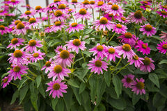 Echinacea purpurea  Moench Royalty Free Stock Photography