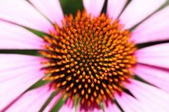 Echinacea Purpurea Nahaufnahme Lizenzfreie Stockbilder