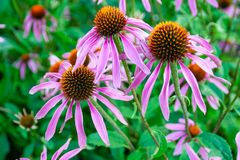 Echinacea purpurea is a North American. Species of flowering plant in the sunflower family. ... The plant is important economically, to the pharmaceutical trade royalty free stock photography