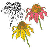 Echinacea Purpurea Royalty Free Stock Photos