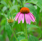Echinacea purpurea pink coneflower flower Royalty Free Stock Photography