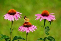Echinacea purpurea - pink coneflower flower and butterfly Araschnia levana. Soft focus Stock Photography