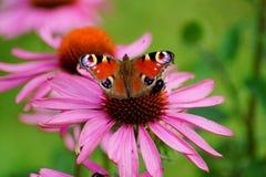 Echinacea purpurea - pink coneflower flower and european Peacock butterfly (Inachis io ) Stock Image