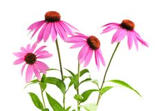 Echinacea purpurea plant royalty free stock photo