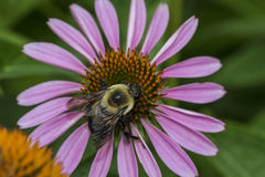 Echinacea purpurea purple cone flower in summer Stock Photo