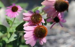 Echinacea purpurea, Purple Coneflower Royalty Free Stock Images