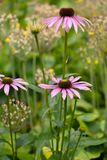 Group of Echinacea purpurea flowers Stock Photo