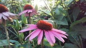 Echinacea Purpurea & x28; Purpurowy Coneflower& x29; Kwitnąć w ogródzie w Jaskrawym zmierzchu świetle Zdjęcie Stock