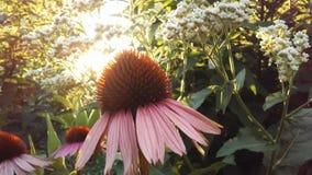 Echinacea Purpurea & x28; Purpurowy Coneflower& x29; Kwitnąć w ogródzie w Jaskrawym zmierzchu świetle Zdjęcia Royalty Free