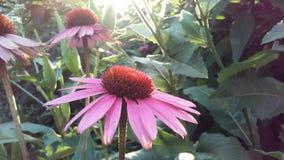 Echinacea Purpurea & x28; Purpurowy Coneflower& x29; Kwitnąć w ogródzie w Jaskrawym zmierzchu świetle Fotografia Stock