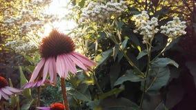 Echinacea Purpurea & x28; Purpurowy Coneflower& x29; Kwitnąć w ogródzie w Jaskrawym zmierzchu świetle Obrazy Royalty Free