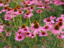 Echinacea purpurea (Ruby star coneflower) Stock Photo