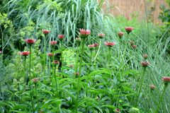 Echinacea purpurea. In the summer garden Royalty Free Stock Image