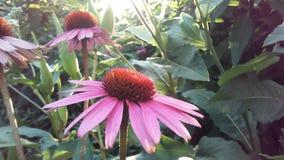 Echinacea Purpurea u. x28; Purpurrotes Coneflower& x29; Blühen im Garten im hellen Sonnenuntergang-Licht Lizenzfreies Stockbild