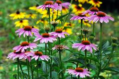 Echinacea purpurea - un'erba che stimola il sistema immunitario Immagine Stock Libera da Diritti