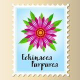 Echinacea purpurea vector flower on a postage stamp. Royalty Free Stock Photo
