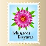 Echinacea purpurea vector flower on a postage stamp. stock image