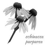 Echinacea purpurea VECTOR sketch. Hand drawn illustration. Black and white flower. Royalty Free Stock Photos