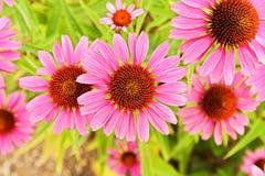 Echinacea purpurea Royalty Free Stock Photo