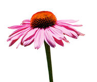 Echinacea Purpurea on White Background Stock Images