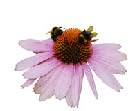 Echinacea Purpurea on White Background Royalty Free Stock Photography