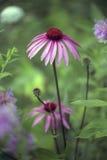 Echinacea que crece salvaje Fotografía de archivo