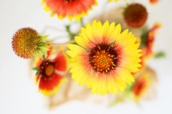 Echinacea red and yellow flowers Stock Photography