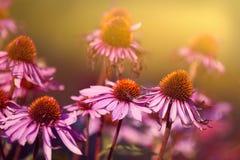 ¡Echinacea rosado! Imagenes de archivo
