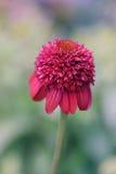 Echinacea rosado fotos de archivo