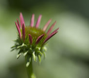 Echinacea rosado Coneflower Bud Opening Imagen de archivo